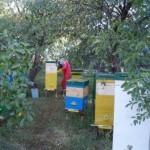 Предпочтительна расстановка ульев под кронами деревьев