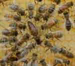 В центре пчелиная матка в окружении свиты