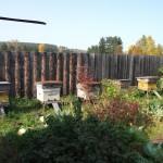 Пчелиные семьи сокращены и подготовлены к зимовке